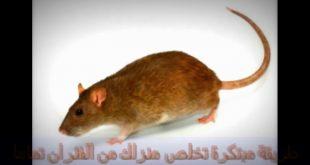 الحل الجذري والنهائي للتخلص من الفئران عن تجربه